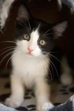 I love cats. Especially cats that look like my cat. Cute Cats And Kittens, I Love Cats, Crazy Cats, Kittens Cutest, Ragdoll Kittens, Tabby Cats, Bengal Cats, Kittens Playing, Black And White Kittens