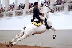 The Spanish Riding School in Vienna with its Lipizzaner Horses is the only institution in the world which has practiced for over 440 years and continues to cultivate classical equitation in the Renaissance tradition of the haute école. Lipizzan, Spanish Riding School Vienna, Lippizaner, Horse Information, Horse Story, Horse Pictures, Horse Photos, White Horses, Vienna Austria