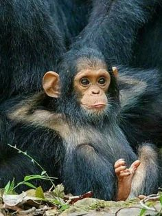 What is not to love about a baby chimp ? - Undine Gardow - What is not to love about a baby chimp ? What is not to love about a baby chimp ? Nature Animals, Animals And Pets, Cute Baby Animals, Funny Animals, Baby Wild Animals, Beautiful Creatures, Animals Beautiful, Regard Animal, Photo Animaliere