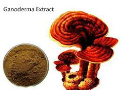 healing properties of ganoderma  Health Benefits of Ganoderma and Reishi Mushrooms For thousands of years eastern health practitioners have used mushrooms for a variety of treatments. Improve Blood Circulation, Health Benefits, Stuffed Mushrooms, Healing, Herbs, Paper Cups, Limo, Website, Coffee
