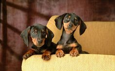 dachshund dogs | Dogs Wallpapers » Blog Archive » Mini Dachshund Puppies On Couch ...