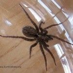 Keep this in mind if you start seeing lots of spiders around your place.   Natural spider killer or preventer… take one cup of vingar, one cup of pepper, a teaspoon of oil and liquid soap. Put it into a spray bottle and spray along the outside of your outside door and along windows…This is worth a shot!