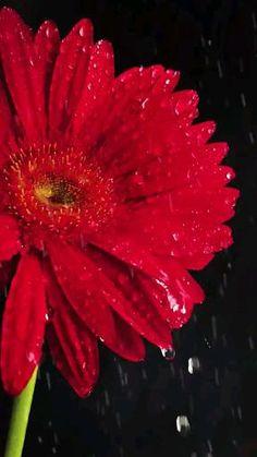Gerbera, Caviar, Fish, Meat, Plants, Songs, Nature Pictures, Beautiful Flowers, Lyrics