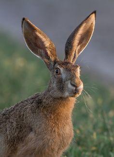 beautiful-wildlife:  All EarsbyТесленко Игорь