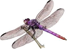 colorful pictures of dragon flies | ... Dragonfly (Orthemis ferruginea) Line Art and Full Color Illustrations