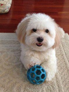 'Please can we play Ball again?' - Coton de Tulear Dog #maltese