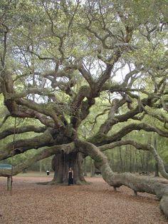 L'arbre ange, ou Angel oak (Charleston, Caroline du Sud, États-Unis). Ce chêne mesure plus de 19 mètres de haut et son tronc fait 7,5 m de circonférence. Son âge est estimé à 1 500 ans, ce qui fait de lui l'un des plus vieux arbres au monde. (Photo : Jbrack)