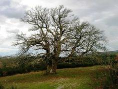Castanheiro (Árvore do Povo) -  Guilhafonso - Freg.: Pêra de Moço - Conc.: Guarda - Distrito: Guarda