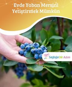 Evde Yaban Mersini Yetiştirmek Mümkün — Sağlığa bir adım It Is Possible To Grow Blueberries At Home In addition to being very good for desserts, blueberries are also beneficial for your health. House Plants, Berries, Flowers, Growing, Garden, Flower Decorations, Growing Vegetables, Flower Arrangements, Herbs
