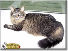 Read Chipper the Maine Coon's story from Farmington Hills, Michigan and see her photos at Cat of the Day http://CatoftheDay.com/archive/2010/October/07.html .