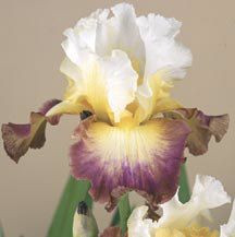 Bearded Iris - 'Starship Enterprise' I just ordered this beauty. I am so excited. What a fantastic name!
