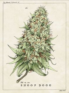 Growing marijuana from clones is one of the ways to grow marijuana. Cloning cannabis is a faster and more effective way of growing identical buds produced from one mother plant. This grow journal chronicles a grower's first attempt in growing cannabis. Marijuana Plants, Cannabis Plant, Medical Marijuana, Weed Tattoo, Cannabis Oil, Planta Cannabis, Schrift Tattoos, Tattoo Ideas, Smoke Weed