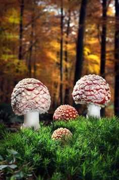 Fly agaric (Amanita muscaria), Dortmund, Germany. photo gallery by Agorastos Papatsanis