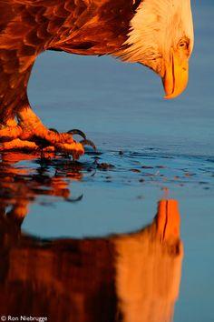 Bald Eagle, Homer, Alaska