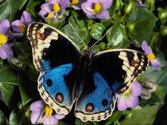 ...blue butterfly