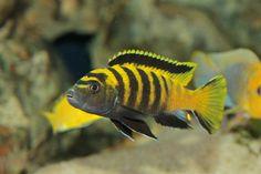 Pseudotropheus flavus - Male