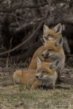 Red Fox Cubs by Sandra Orr on 500px