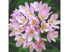 Allium Roseum 1 Allium, Plants, Flowers, Plant, Planets