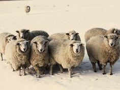 Sheep , Framed Art and Prints at Art.com