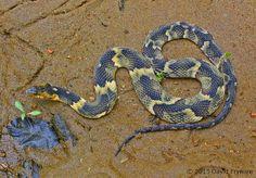 Broadbanded Water Snake - Fulton Co. KY