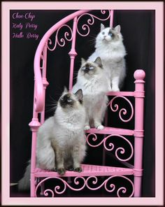 All Angel Eyes Ragdoll breeding Angel Eyes, Halle Berry, Katy Perry, Creatures, Clip Art, Cats, Flowers, Pictures