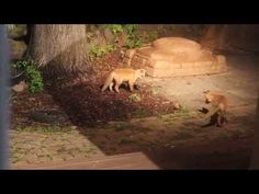 White Wolf : Tiny Baby Foxes Find A Dog Toy In Backyard, React Just Like Puppies (Video)