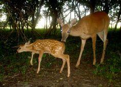 Become A Better Deer Hunter- Deer Biology