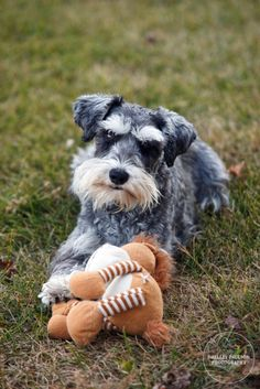 Toby and Horsie by Shelley Paulson #Miniature #Schnauzer