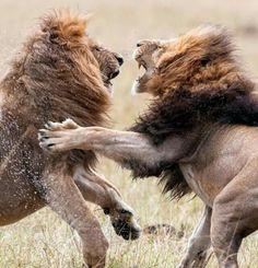 Male lions' brutal Kenyan clash as pair fight for supremacy of pride Lion Walking, World Lion Day, Wild Lion, Brown Bear, Big Cats, Kenya, Lions, Kangaroo, Pride