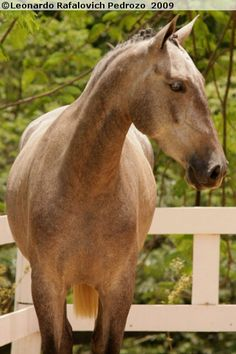 Lusitano is basically Andalucian that is from Portugal. The horses of Spain and Portugal do not differ so much and Lusitano is just like Andalucian, there are only some very small differences in their breeding goals. Lusitano is a noble, powerful and elegant horse.