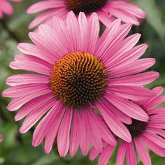 Echinacea Purpurea 'primadonna Deep Rose Pink' | Echinacea Seeds | Kings Seeds