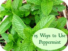 Peppermint:  It Warms, It Cools, It is a Wonderful Addition to Your Herb Garden #EssentialOil, #Gardening, #Herb, #HerbalRemedy, #Peppermint #Gardening