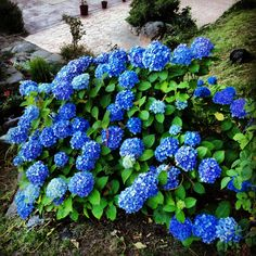 1000 images about gardens on pinterest hydrangeas weed. Black Bedroom Furniture Sets. Home Design Ideas