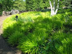 I've given many presentations on Ornamental Grasses over the years and always include Japanese forest grass, also called Hakone grass. Ornamental Grasses For Shade, Hakone Grass, Rockery Garden, Shade Grass, Japanese Garden Design, Japanese Gardens, Border Plants, Forest Garden, Backyard Patio Designs