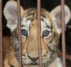 PETA exposes animals suffering in laboratories, in the food industry, in the clothing trade, and in the entertainment industry. Zoos, Bear Cubs, Prisoner, Wild And Free, Aquariums, Chains, Crime, Wildlife, Creatures