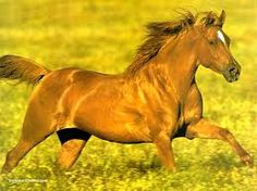 Image result for chevaux alezan wallpaper