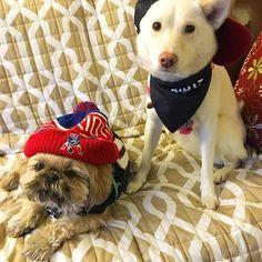shihtzucody : Watching the parade from home. #newenglandpatriots #Superbowl #champion #dogfan . . . #shihtzu #shihtzusofinstagram #woof #woohoo #hooray #shihtzu_squad #doglife #fan #football #newenglandpatriots #woof #shibainu #fangear #stayingwarm #mydogiscutest #showcasing_pets #cutedog #heart #toocute