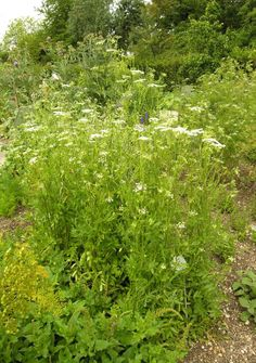Temperate Climate Permaculture: Permaculture Plants: Skirret/ ATTRACTS: Black Swallowtail Butterflies. An important host plant.