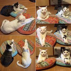 ただただ、手をそろえる2人…。 #八おこめ #ねこ部 #cat #ねこ #シンクロニシティ