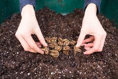 How To Grow Ranunculus - Floret Flowers