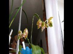 ORQUIDEAS - acabé con la Cochinilla pero las Flores no abrieron bien.