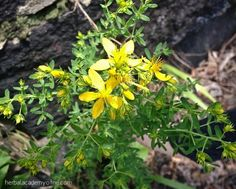 All about St. Johns Wort - From Scratch Magazine