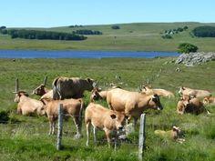 Aubrac : du granit, des vaches, et une incomparable sérénité