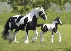 Gypsy Vanner mare and foal. Majestic Animals, Cow, Creatures, Gypsy, Animals And Pets, Donkeys, Cabin Ideas, Horses, Animal Kingdom