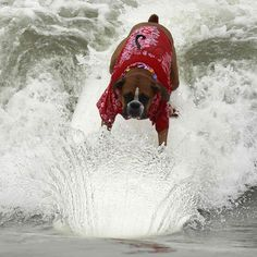 Surf Boxer dogs just want 2 have fun www.capemaydogs.com