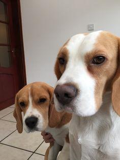 Two cute Beagles