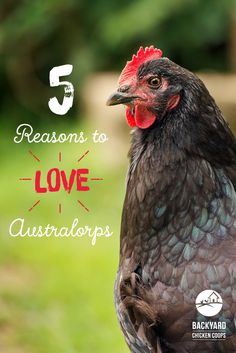 Australorps are a beautiful breed, not only are they egg-tastic layers but they also have a great personality. Find out more about these lovable chooks here, http://www.backyardchickencoops.com.au/5-reasons-to-love-your-australorp-chickens #loveyourchickens #australianaustralorp #australorpchickens