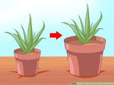 How to Care for Your Aloe Vera Plant: 11 Steps (with Pictures)