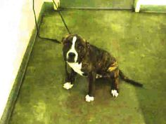 A1606997 Dog • Adorable Boxer & Pit Bull Terrier Mix • Baby • Male • Medium City of Los Angeles South LA Animal Shelter Los Angeles, CA