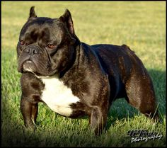puppy shorty bulls | Home Males Females Breedings Puppies Contacts Links Photos